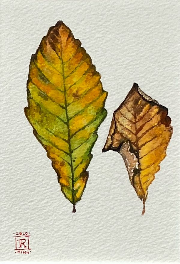 Yellow chestnut oak leaves art Rebecca king Hawkinson